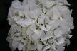 Hydrangea macrophylla 'Regula' (Hortensia Group) - Bigleaf Hydrangea