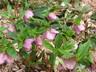 Helleborus orientalis - Lenten-Rose