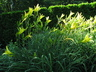 Hemerocallis citrina - Citron Daylily