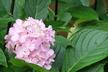 Hydrangea macrophylla 'Nigra' (Hortensia Group) - Bigleaf Hydrangea