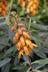 Digitalis canariensis - Foxglove