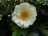 Rosa 'Direktor Benschop' [sold as City of York] - Large-Flowered Climber Rose