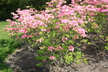 Rhododendron 'Aida' - Rustica Flora Pleno Hyb Azalea