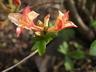 Rhododendron 'Bouquet De Flore' - Ghent Hybrid Azalea
