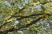 Ulmus - Disease-Resistant Elm