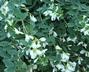 Lespedeza thunbergii 'Albiflora' - White Thunberg Lespedeza