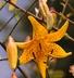 Lilium 'Citronella' - Asiatic Hybrid Lily