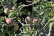 Malus domestica 'Granny Smith' - Apple