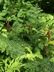 Osmunda regalis - Royal Fern