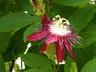 Passiflora 'Lady Margaret' - Passion-Flower