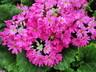Primula malacoides 'Prima Light Rose' - Primrose