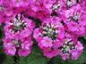 Primula malacoides 'Prima Lilac' - Primrose