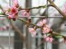 Prunus persica var. nucipersica 'Lafayette' - Nectarine