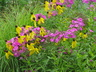 Phlox paniculata 'Robert Poore' - Perennial Phlox