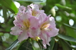 Rhododendron 'Alice Poore' - Dexter Hybrid Rhododendron