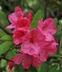 Rhododendron 'Atroflo' - Gable Hybrid Rhododendron