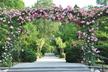 Rosa 'American Pillar' - Rambler Rose