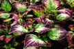 Solenostemon scutellarioides 'Sunrise' - Coleus