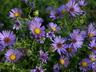 Symphyotrichum oblongifolium 'October Skies' - Aromatic Aster