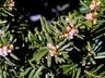 Taxus cuspidata 'Nana' - Dwarf Japanese Yew