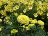 Tagetes erecta 'Primrose Lady' (Lady Group) - African Marigold