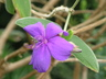 Tibouchina urvilleana - Glory-Bush