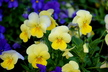 Viola cornuta 'PAS872977' [sold as Sorbet Lemon Chiffon Improved (TM)] (Sorbet Group) - Viola