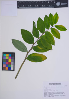 Polygonatum odoratum var  pluriflorum 'Jinguji'