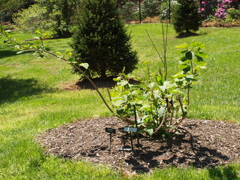 Accession Number 1968 0599a Magnolia Sieboldii