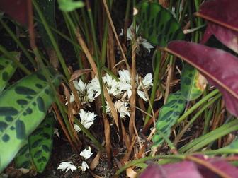 Accession Number 1968 0900a Calathea Lancifolia