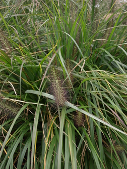 Pennisetum alopecuroides 39 paul s giant 39 for Hardy fountain grass