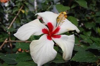 Hibiscus Rosa Sinensis White Wings