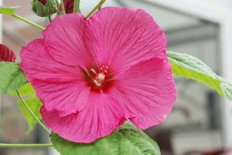 Hibiscus Moscheutos Luna Rose