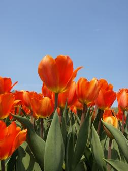 tulipa lighting sun