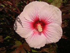 Hibiscus Summer Storm