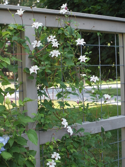 clematis 39 zoprika 39 sold as princess kate texensis group. Black Bedroom Furniture Sets. Home Design Ideas
