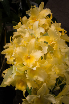 Accession number 2014 0262a dendrobium grex yellow song canary dendrobium yellow song canary flower mightylinksfo