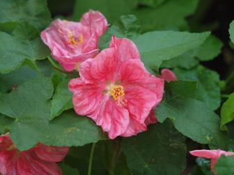 Abutilon bella pink mightylinksfo