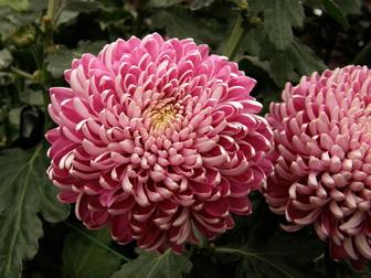 chrysanthemum x morifolium - photo #40