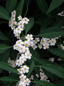 Euphorbia Fulgens White
