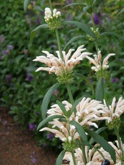 Leonotis leonurus Alba White Lionstail Quart Plant FREE SHIP