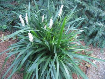 Liriope muscari monroe white mightylinksfo